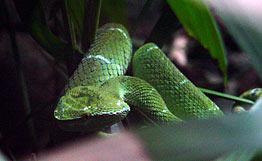 http://www.equator.ru/images/indonesia_chameleon_snake.jpg