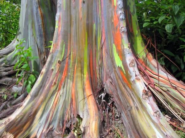http://www.equator.ru/philippines/rainbow_eucalyptus_01.jpg