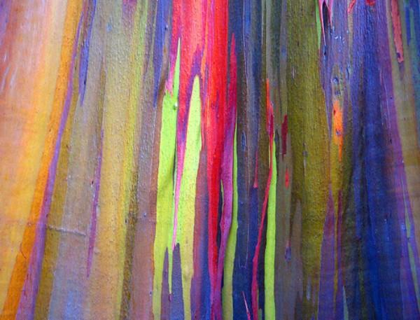 http://www.equator.ru/philippines/rainbow_eucalyptus_02.jpg