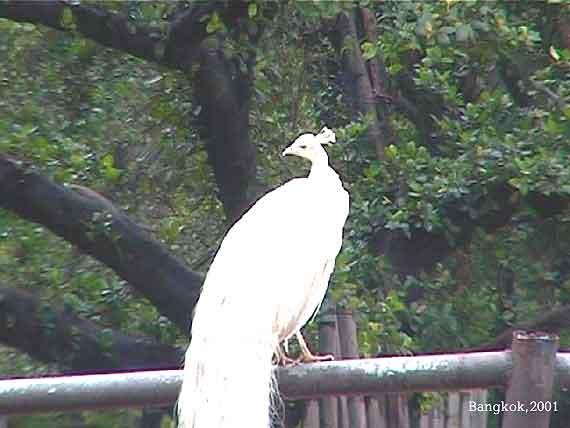Павлин-альбинос. Бангкокский зоопарк (21 K)