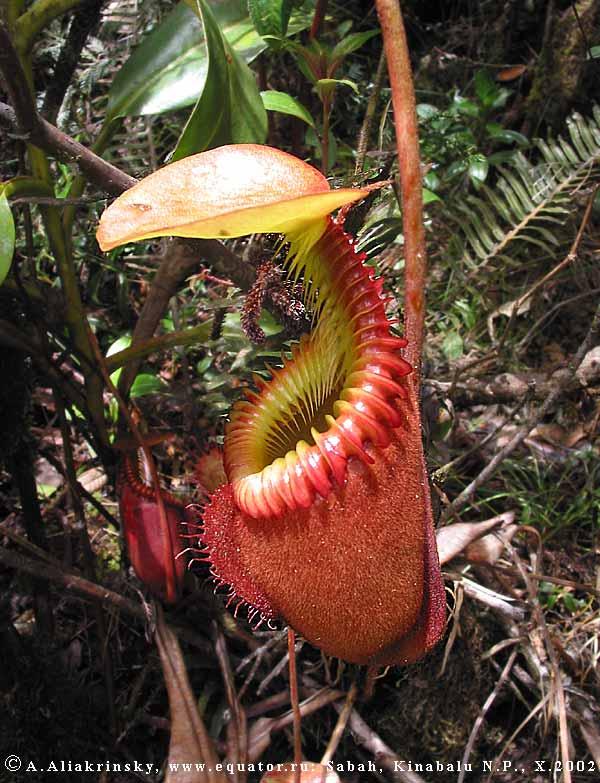 Цветок который ест мух